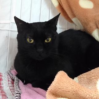 おだやか黒猫☆百之介(もものすけ)くん 1才半