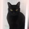 おだやか黒猫☆百之介(もものすけ)くん 1才半 サムネイル3