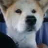おっとり小柄な秋田犬の雪ちゃん