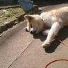 おっとり小柄な秋田犬の雪ちゃん サムネイル3
