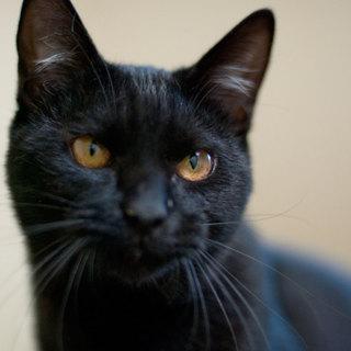 超美形の黒猫