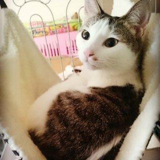 和風な美猫さんメス生後8ヶ月