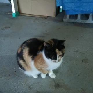 とても可愛い綺麗な模様の三毛猫