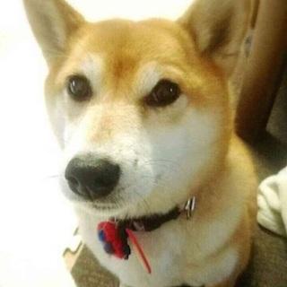 柴犬 4才 9キロ ミナミちゃん