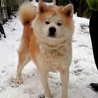 秋田犬の里親さん募集❕