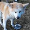保護犬(秋田犬)さくらちゃん里親募集中! サムネイル4