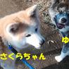 保護犬(秋田犬)さくらちゃん里親募集中! サムネイル7