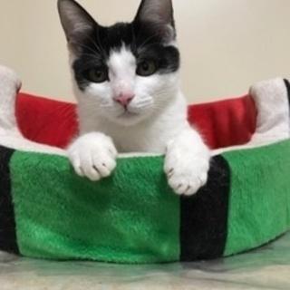 【2/18猫の未来とびら譲渡会】あくび5ヵ月半