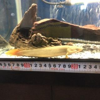 ポリプテルスセネガルス 若魚