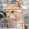 きなこ色のきれいな毛色の女の子 丸顔の美人猫です サムネイル3