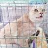 きなこ色のきれいな毛色の女の子 丸顔の美人猫です サムネイル7