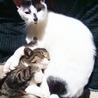賢く丈夫でおもちゃ大好きな白黒猫の男の子 サムネイル6
