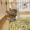 並うずら♂♀2羽ずつ居ます