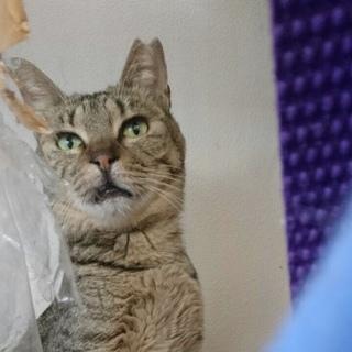 スマートな淡色のキジ猫