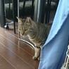 スマートな淡色のキジ猫 サムネイル2