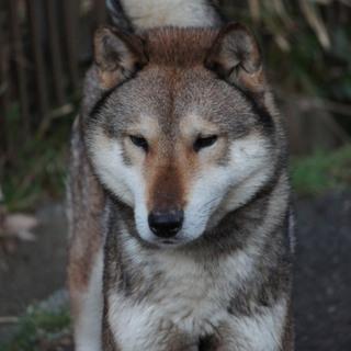 日本狼みたいな絶滅危惧種四国犬を飼ってみませんか?