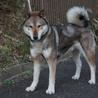 日本狼みたいな絶滅危惧種四国犬を飼ってみませんか? サムネイル2