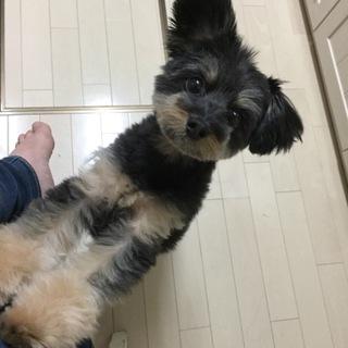 ♡チワワ&トイプードルミックス犬5歳♂♡