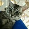 グリーンアイ灰色キジトラ★先住猫OKまる♂2歳