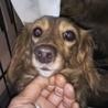繁殖リタイア犬ミニチュアダックスフンド