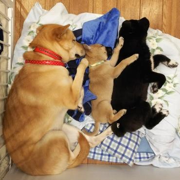 ちゃみ、子犬たちと川の字になって寝てます★