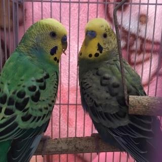 セキセイインコ 2羽2歳