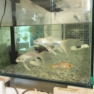 ヒレ長鯉2匹里親さん募集です