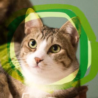 猫初心者向け手術済みキジ白♡キジ猫月影9ヶ月