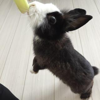 ミニウサギ♂2歳
