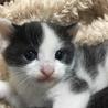 白黒ハチワレの子猫里親募集します。