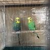 文鳥1匹とセキセイインコ2匹の里親さん募集