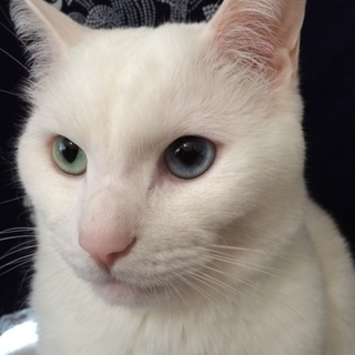 白猫 オス 6歳