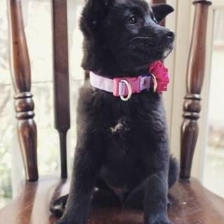 真っ黒な甲斐犬ミックス。