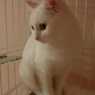 大きな目 真っ白ボディの美猫 リリちゃん
