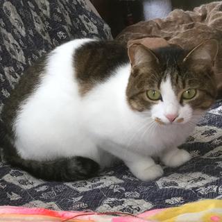 遊ぶの大好き保護猫の兄妹☆1匹から☆避妊去勢済