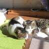 遊ぶの大好き保護猫の兄妹☆1匹から☆避妊去勢済 サムネイル5
