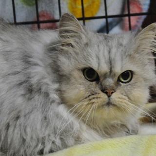 ペルシャ猫オス