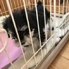 ミニチュアシュナウザーの仔犬です。生後50日