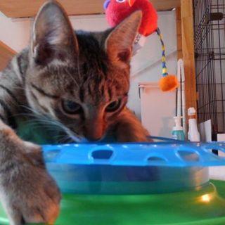 ダミ声のキジ猫♪オモチャ大好きナナちゃん♪