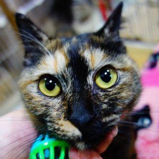 ★超・甘えん坊の美形サビ猫★