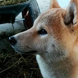 血統書付き柴犬1.5歳