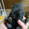 ☆1/10産 ネザーの赤ちゃん☆里親募集