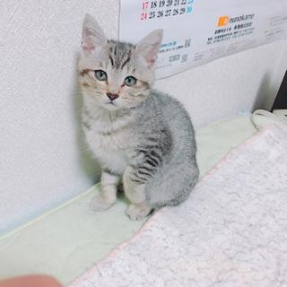 生後1ヶ月のやんちゃなオス猫です。