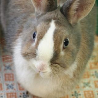 人懐こいミニウサギの里親募集です