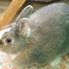 人懐こいミニウサギの里親募集です サムネイル2