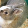 人懐こいミニウサギの里親募集です サムネイル3