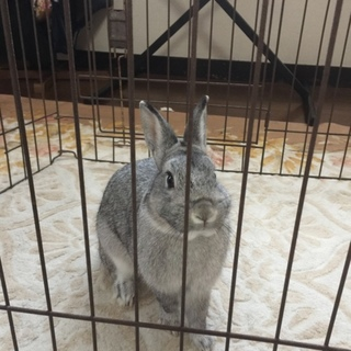 ※応募多数いただきました。耳の短いミニウサギ