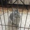 ※応募多数いただきました。耳の短いミニウサギ サムネイル2