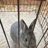 ※応募多数いただきました。耳の短いミニウサギ サムネイル3