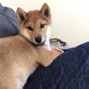 4ヶ月柴犬